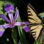 Swallowtail on Iris